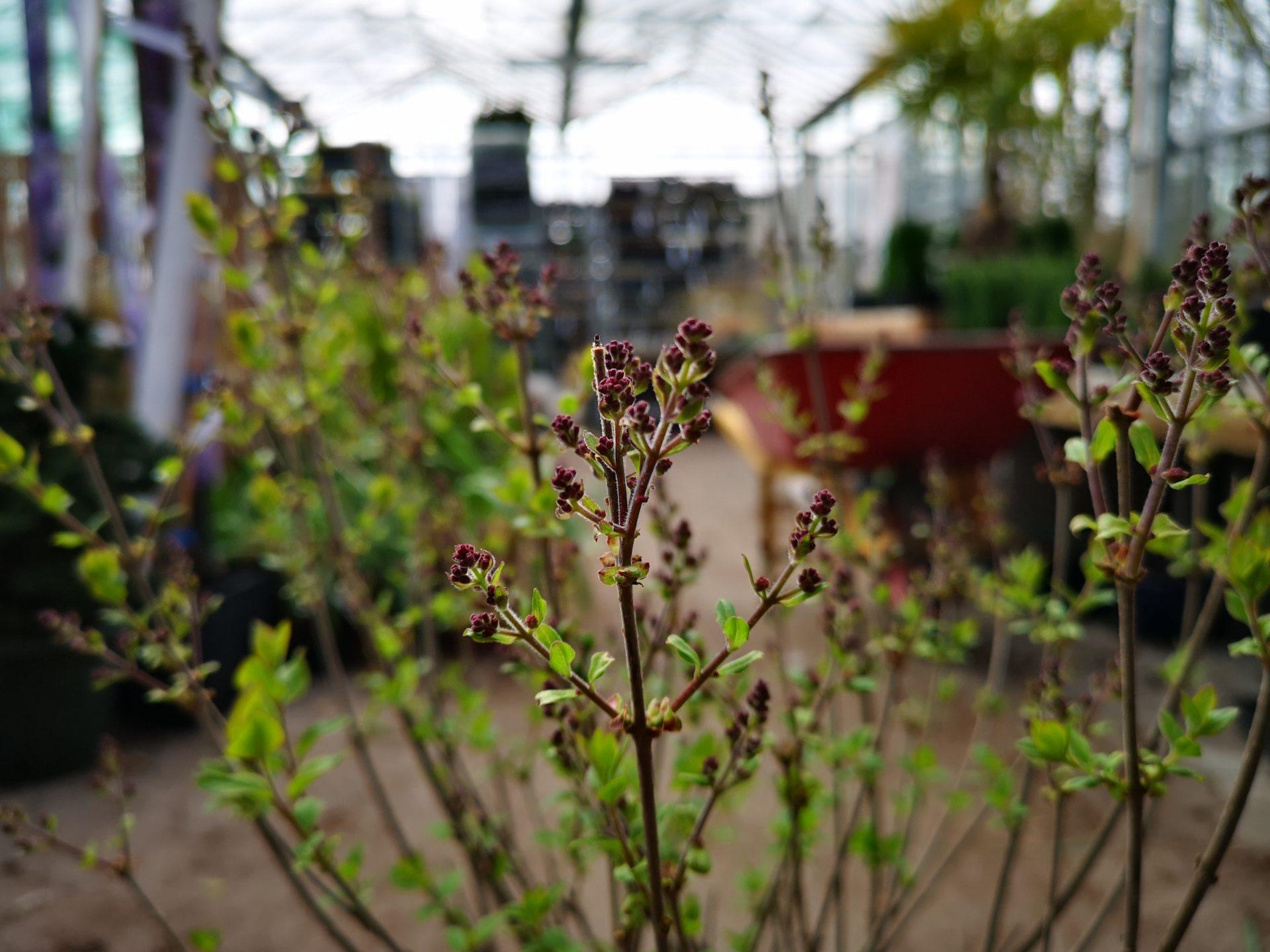 sæby planteskole
