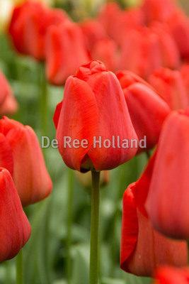 Tulipan 'Apeldoorn' størrelse: 12/+ 100 stk. kr. 248,00