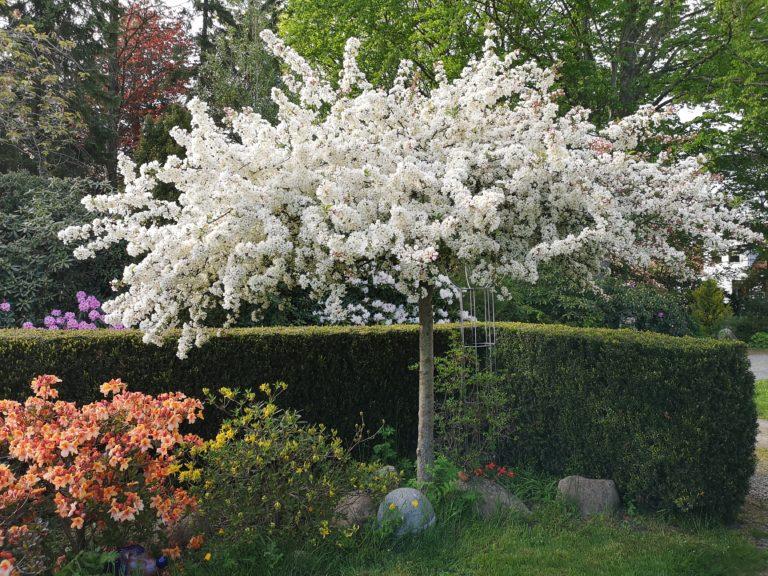 Malus 'Tina' Paradisæbletræ