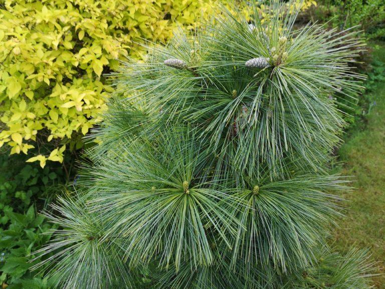 Flot Pinus schwerinii 'Weihorst'
